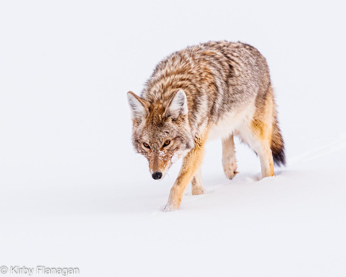 Yellowstone in Winter Coyote