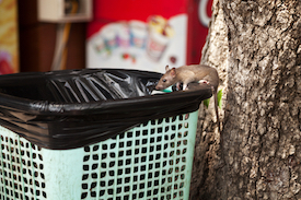 bigstock-Young-City-Rat-Searching-For-F-235939834